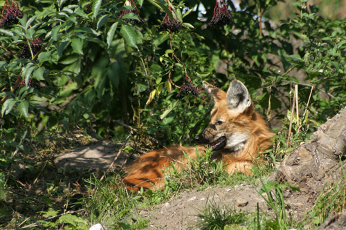 Chrysocion brachyurus, maned wolf, grand méchant loup