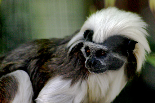 Cotton-top Tamarin Hotoie Amiens